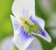 White Violet 4 Print by Scott Hovind