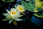 White Water Lilies Photos - White Water Lilies by Louis Dallara