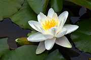White Flower Photos - White Water Lily and Bud by Susan Isakson