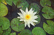 White Water Lily Art - White Water Lily by Andee Photography