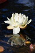 Andrea Everhard Prints - White Water Lily Print by Andrea Everhard