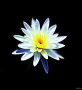 Impressionistic Oil Digital Art - White Water Lily At Night One by J Jaiam
