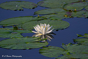 Pasco County Prints - White water lily Print by Barbara Bowen