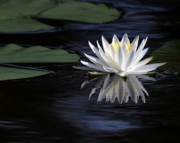 White Water Lily Print by Sabrina L Ryan