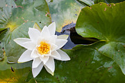 Knob Prints - White Water Lily Print by Semmick Photo