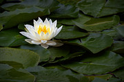 Cultivation Prints - White Water Lily Print by Susan Isakson