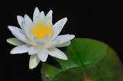 White Lotus Posters - White Water Lily Poster by Thomas Schoeller