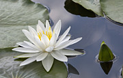 White Water Lily Print by Vladimir Sidoropolev