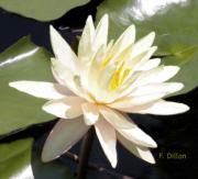Frances  Dillon - White Waterlily