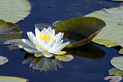 Aquatic Plant Posters - White Waterlily Poster by Teresa Zieba