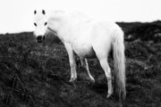 Grey Horse Photos - White Welsh Pony by Angel  Tarantella