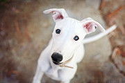 Whippet Framed Prints - White Whippet Pup Framed Print by photographer Samantha Pearce