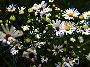 White Wild Aster Print by Scott Hovind