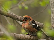 Crossbill Posters - White-winged Crossbill Poster by Melissa Peterson