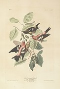America Paintings - White Winged Crossbill by John James Audubon