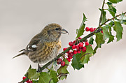 Crossbill Prints - White-Winged Crossbill on Holly Branch Print by Jean A Chang