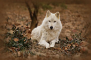 Timber Wolf Prints - White Wolf Print by Sandy Keeton