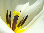 White Yellow Tulip Flower Fine Art Prints Print by Baslee Troutman Fine Art Prints