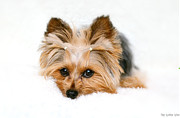 Catia Cho Metal Prints - White Yorkie Metal Print by Catia Cho