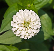 Susan Leggett Posters - White Zinnia and Green Leaves Poster by Susan Leggett