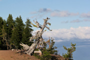 Weathered Prints - Whitebark Pine at Crater Lakes rim - Oregon Print by Christine Till