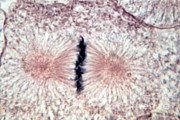 Micrograph Art - Whitefish Cells, Metaphase, Lm by Science Source