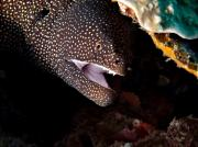 Asien Prints - Whitemouth Moray Eel Print by Joerg Lingnau
