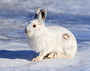 Hare Photo Posters - Whiter Than Snow Poster by Tony Beck