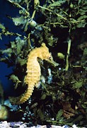 Pisces Photos - Whites Sea Horse by Georgette Douwma