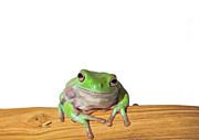 Whites Tree Frog Print by Www.tommaddick.co.uk