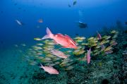 Awesome Prints - Whitesaddle goatfish Print by Dave Fleetham