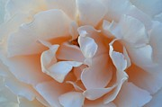 Earth Photos - Whitest Rose by Naomi Berhane