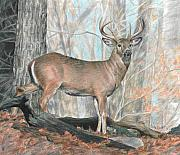 Deer Drawings Posters - Whitetail Buck Poster by Carla Kurt