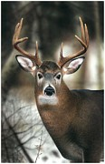 Clarence Stewart - Whitetail Buck Up Close