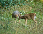 Sparring Prints - Whitetail bucks in battle 9677 Print by Michael Peychich