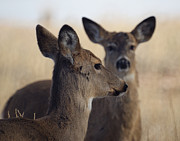 Fountain Creek Nature Center Posters - Whitetail Deer Poster by Ernie Echols
