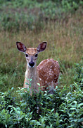 Whitetail Deer Framed Prints - Whitetail Deer Fawn Framed Print by Thomas R Fletcher