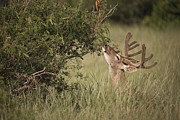 Hector D Astorga - Whitetail Deer