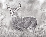 Rain Drawings - Whitetail Deer by Samantha Howell