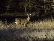 Thomas Young Photography Framed Prints - Whitetail Doe Framed Print by Thomas Young