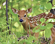 Northwoods Photos - Whitetail Fawn by Dale Erickson
