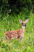 Metro Park Metal Prints - Whitetail Fawn Metal Print by James Marvin Phelps