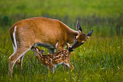 Nursing Deer Framed Prints - Whitetail Fawn Nursing Framed Print by Joe Elliott