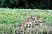 Fawn Photos - Whitetail Fawns by Geary Barr