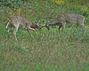 Sparring Prints - Whitetail Fighting_9668 Print by Michael Peychich