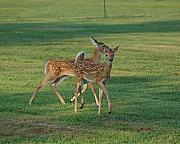 Philadelphia Golf Prints - Whitetail Younguns Print by Edwin Voorhees