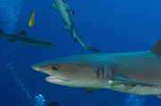 New Britain Photo Prints - Whitetip Reef Shark, Papua New Guinea Print by Steve Jones