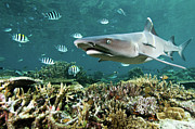 Tropical Fish Posters - Whitetip Shark Over Coral Reef Poster by Alexander Safonov