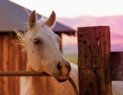 Horse Portrait Posters - Whitey at Dawn Poster by Gus McCrea