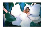 Newell Framed Prints - Whitsett Magnolia Framed Print by Michael Story Newell